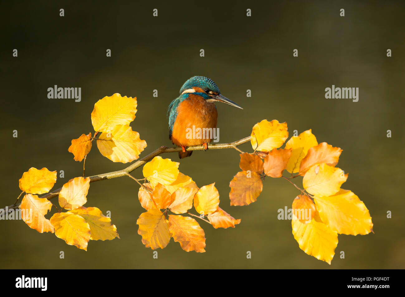 Kingfisher (Alcedo atthis) perched on an Autumn branch - Stock Image