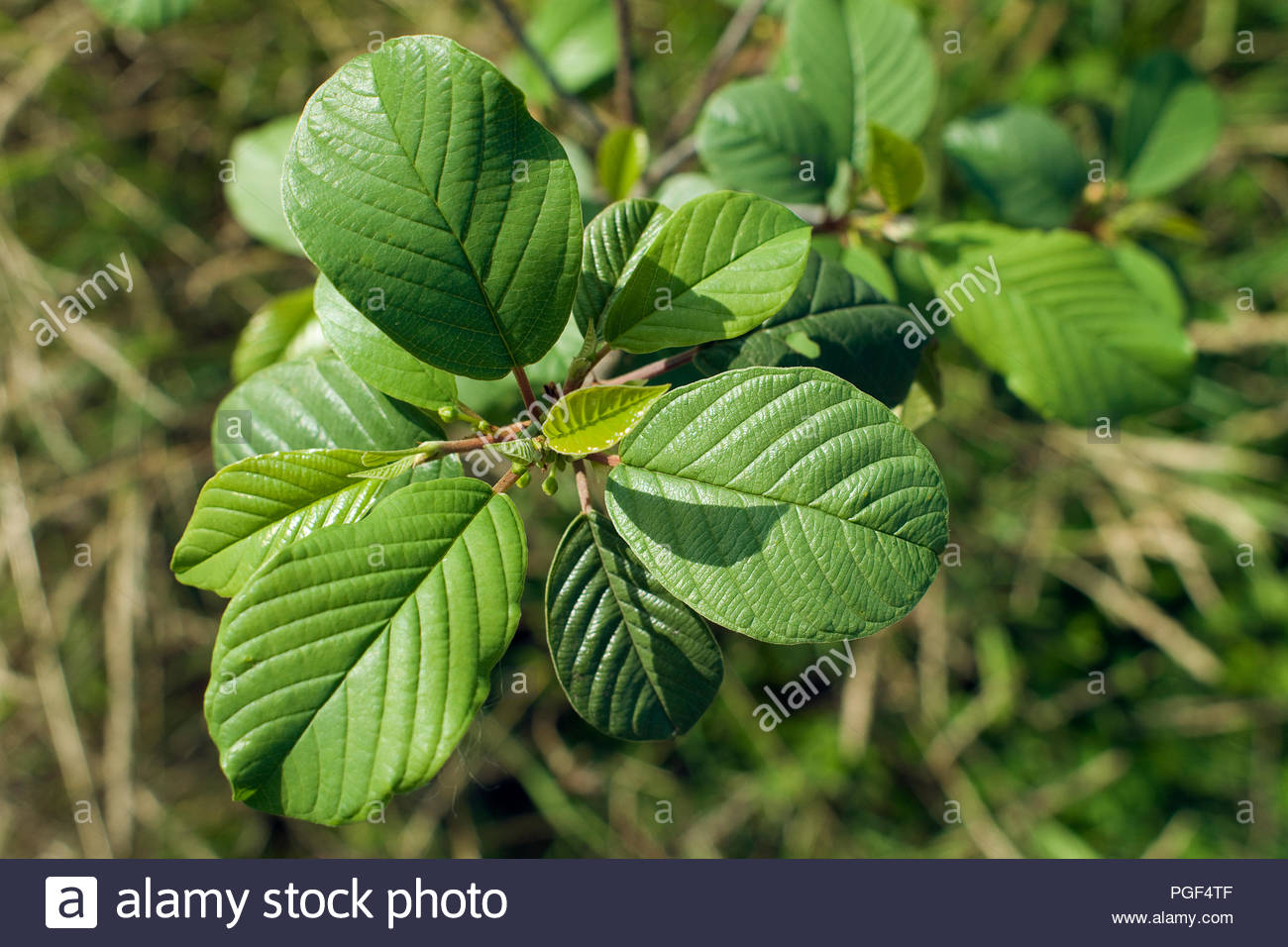 Oblong-shaped leaves on a plant in a forest - Stock Image