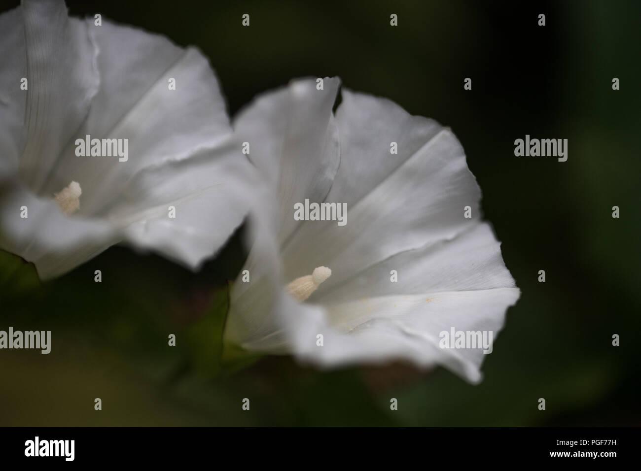 Macro Morning Glories - Stock Image