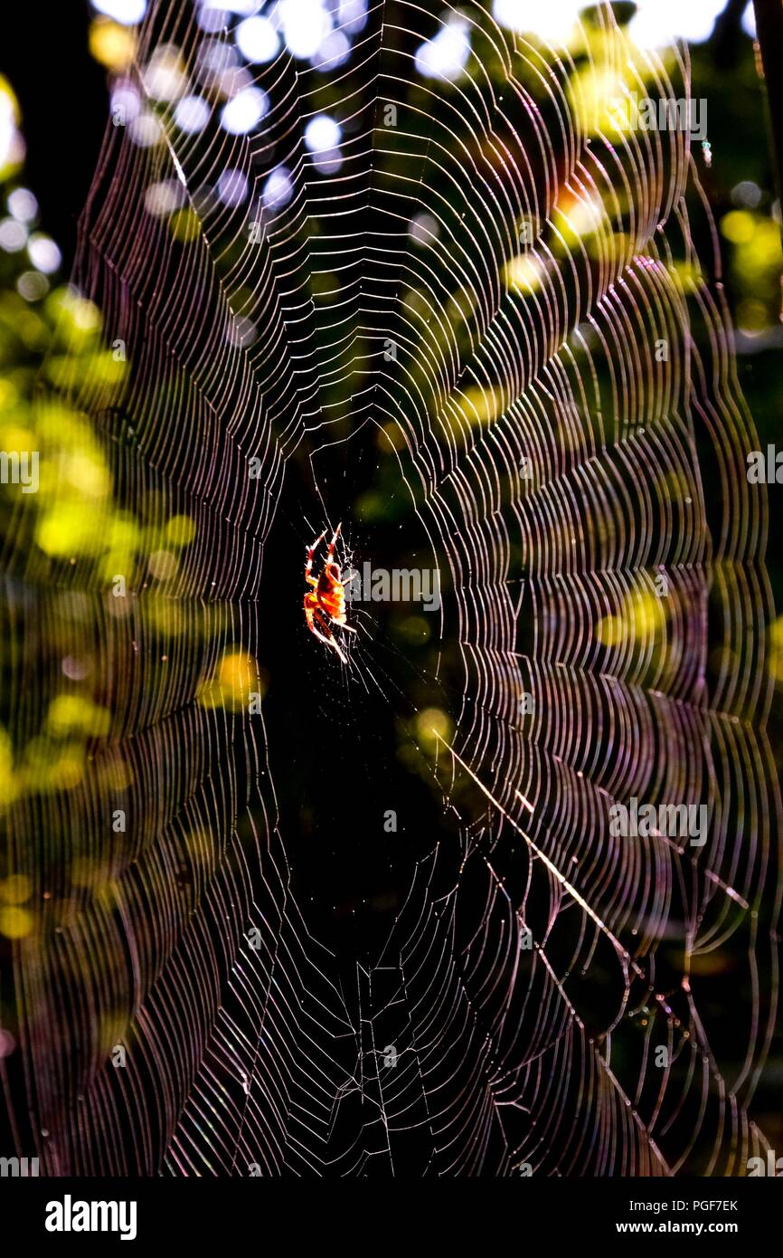 Early morning sunlight shining on a spotted orb-weaver spider centered on her web at Yates Mill County Park in Raleigh North Carolina - Stock Image