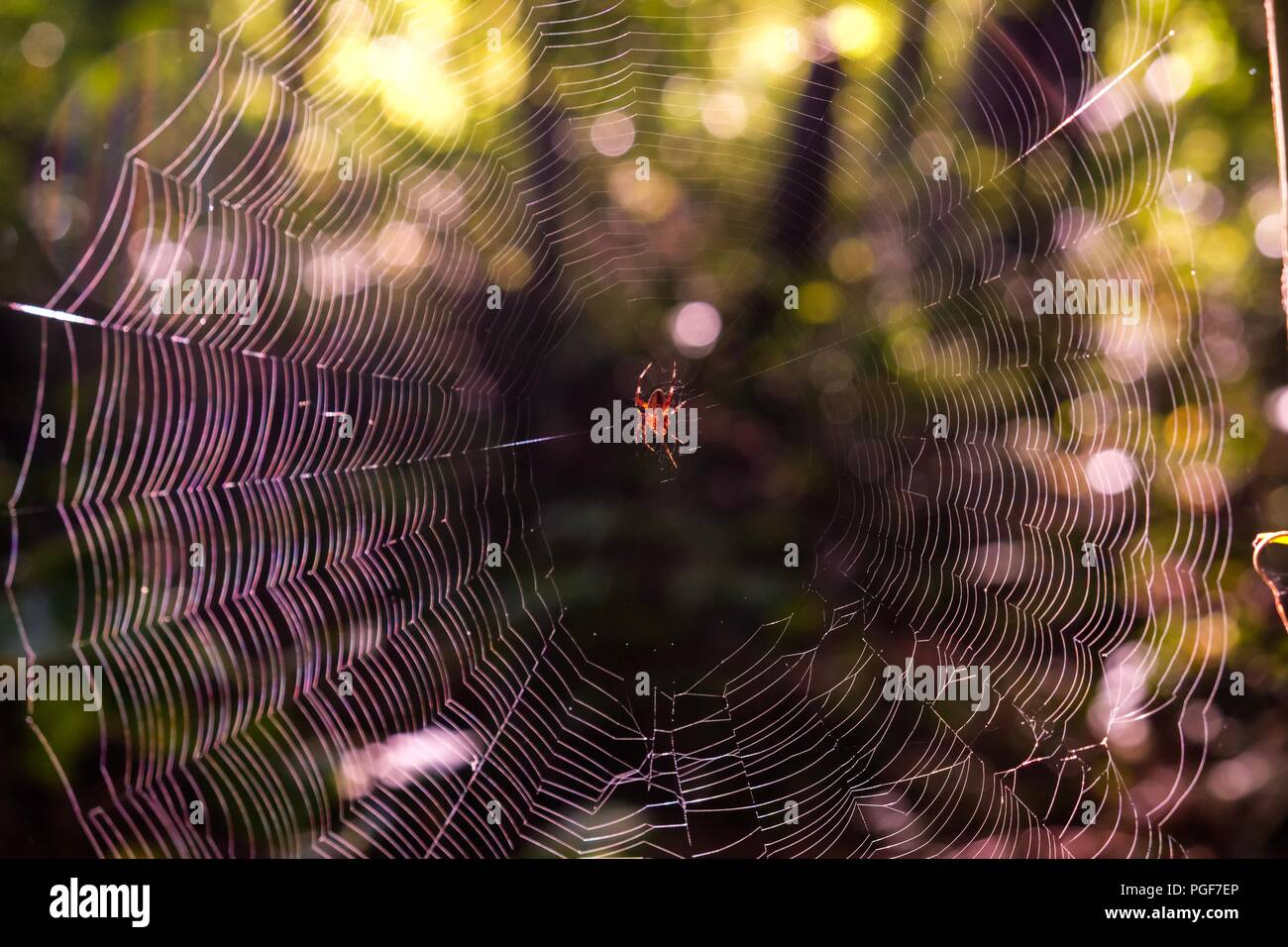 Early morning sunlight brightening up a spotted orb-weaver spider centered on her web at Yates Mill County Park in Raleigh North Carolina - Stock Image