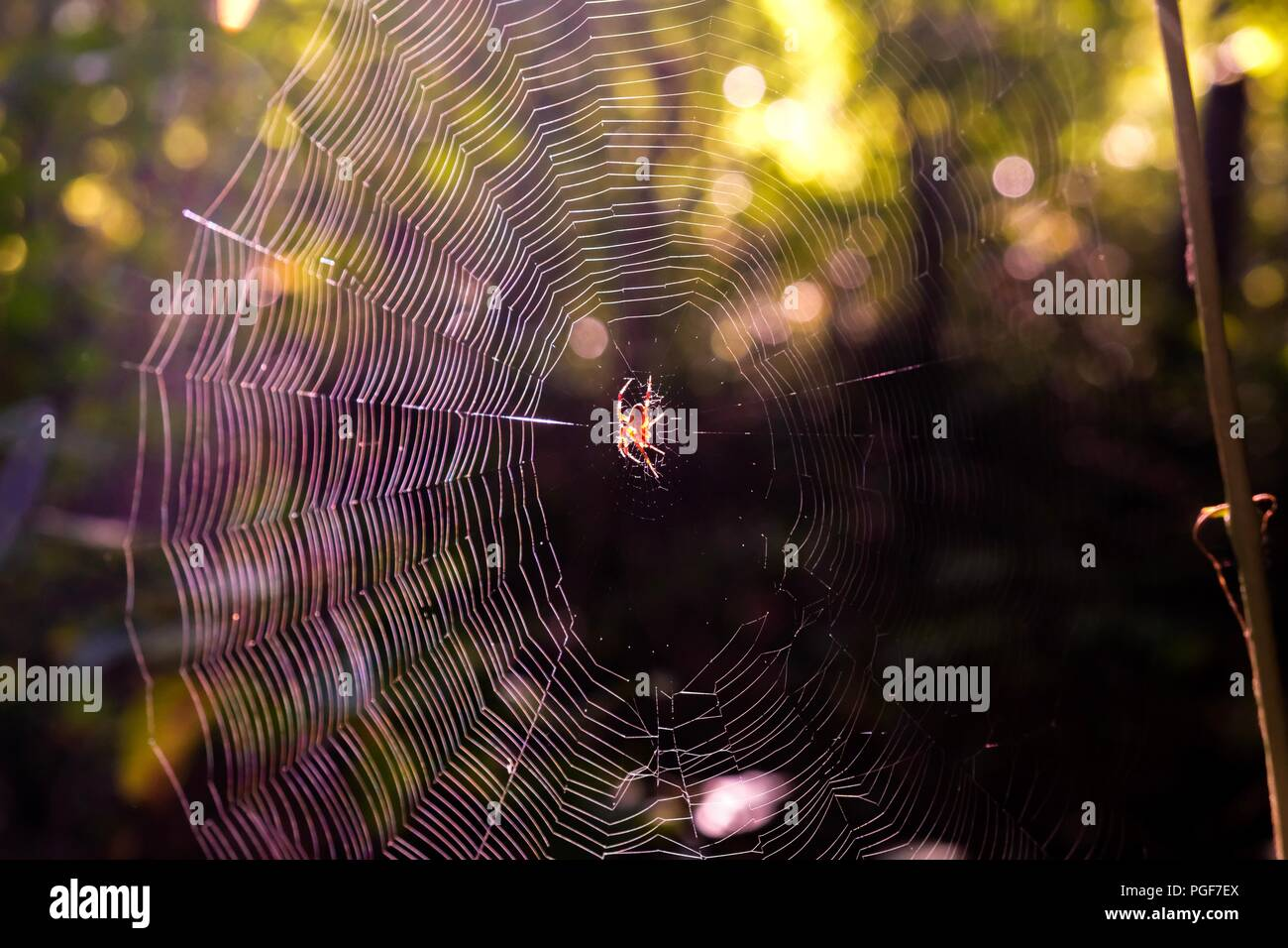 Early morning sunlight shining on a spotted orb-weaver spider centered on her web in the forest at Yates Mill County Park in Raleigh North Carolina - Stock Image