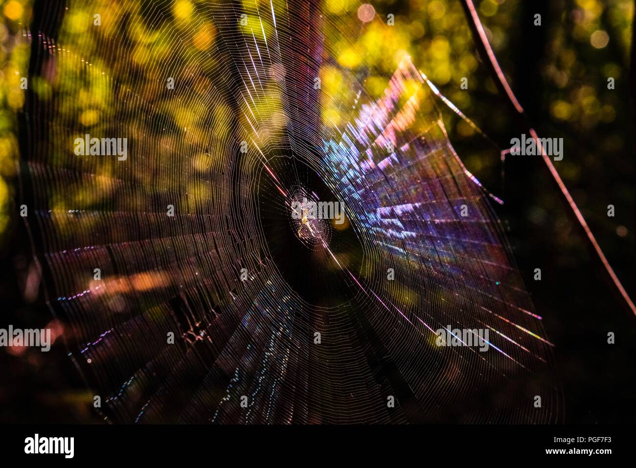 Early morning sunlight shining on a spotted orb-weaver spider centered on her web revealing an array of colors at Yates Mill County Park in Raleigh No - Stock Image