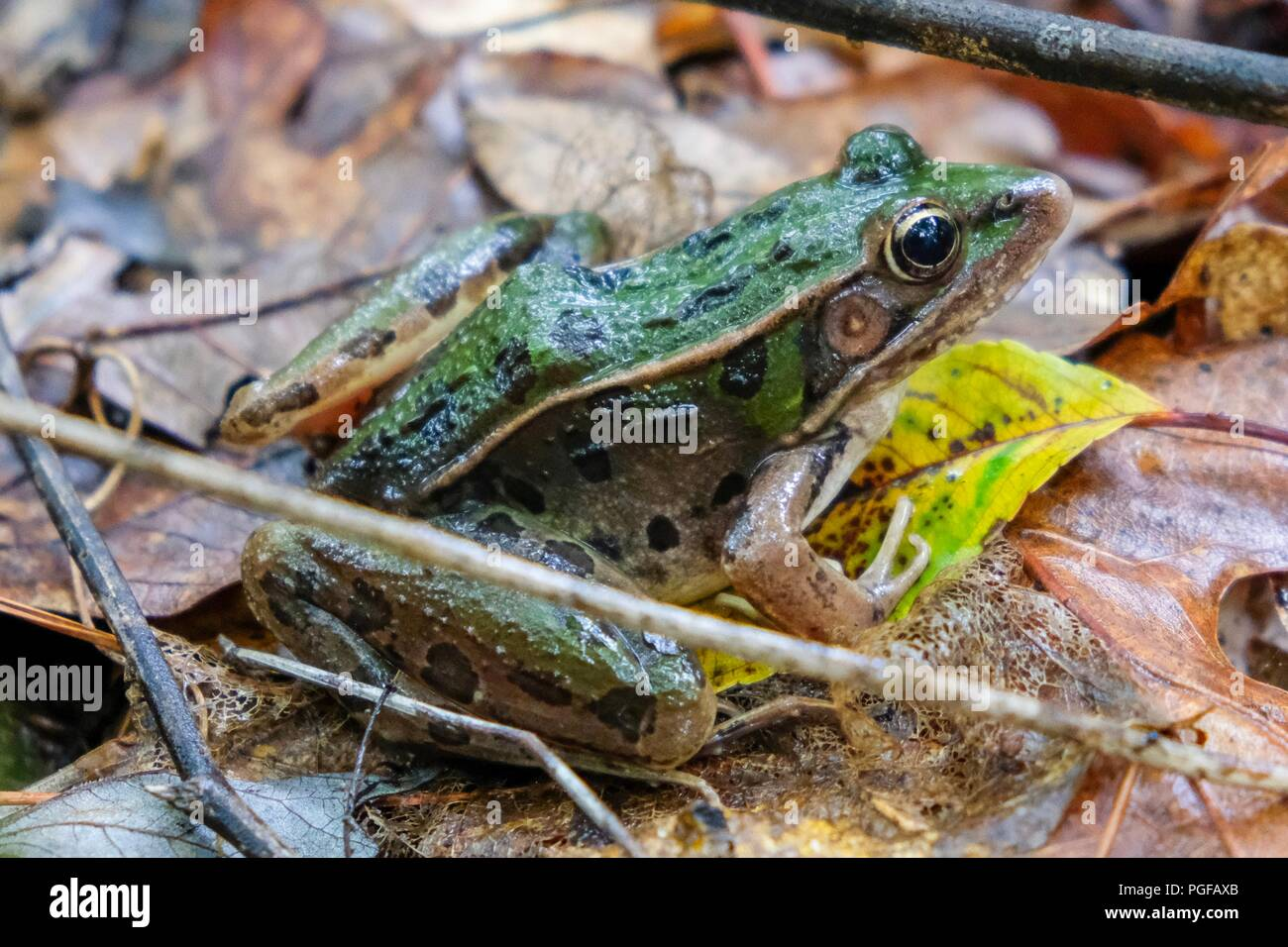 A Southern Leopard frog sits on the forest floor after a summer rain at Yates Mill County Park in Raleigh North Carolina - Stock Image