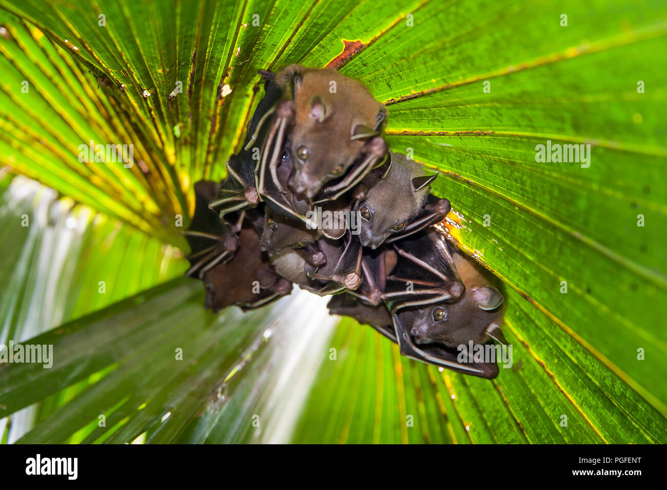 Lesser Dog-faced Fruit Bat (Cyneropterus brachyotis). Also called Short-nosed or Common Fruit Bat - a family hides under a green leafy palm tree Stock Photo