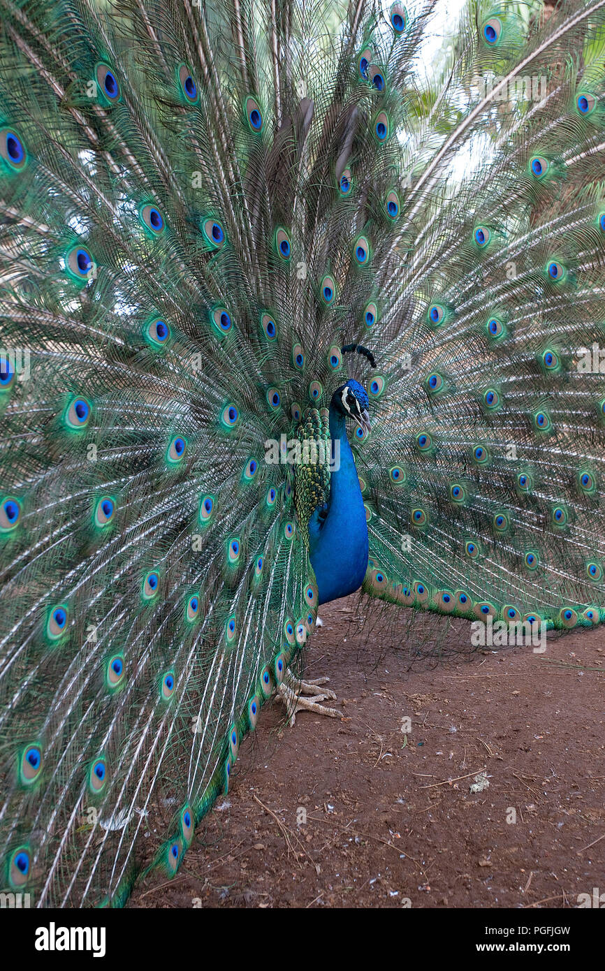 Peacock - Stock Image