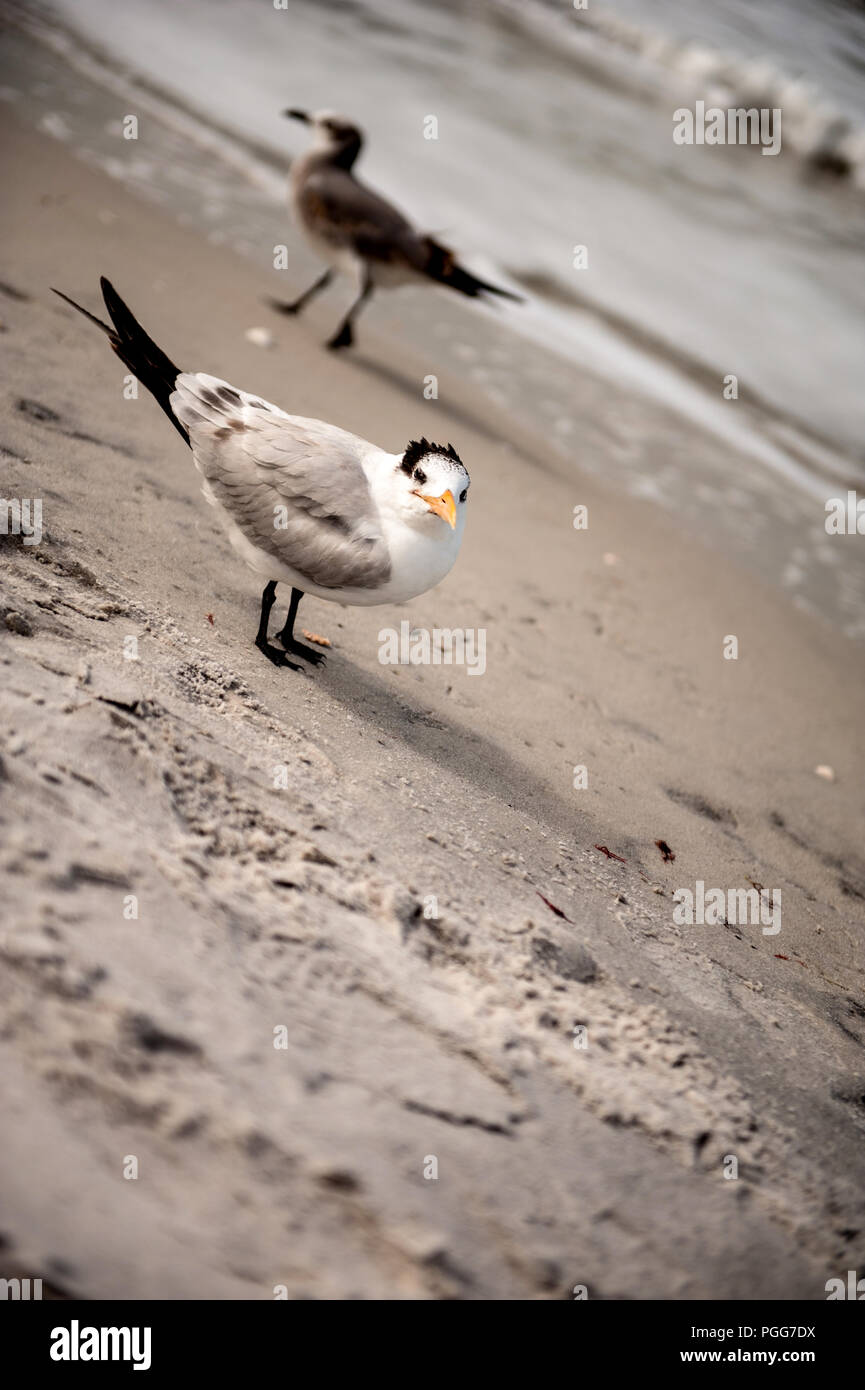 sea birda on beach florida - Stock Image
