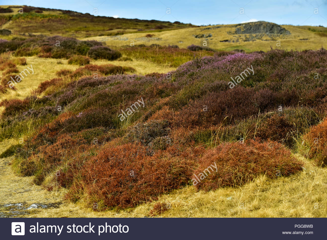 Parched heather on the Long Mynd hill in Shropshire, England, UK. - Stock Image