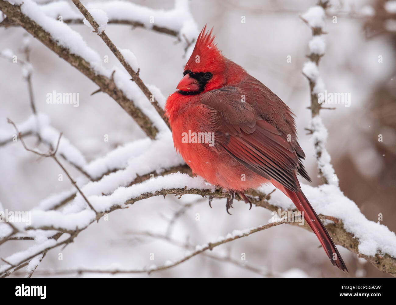 9e4923ba Northern Cardinal in the Snow in Winter Stock Photo: 216717505 - Alamy
