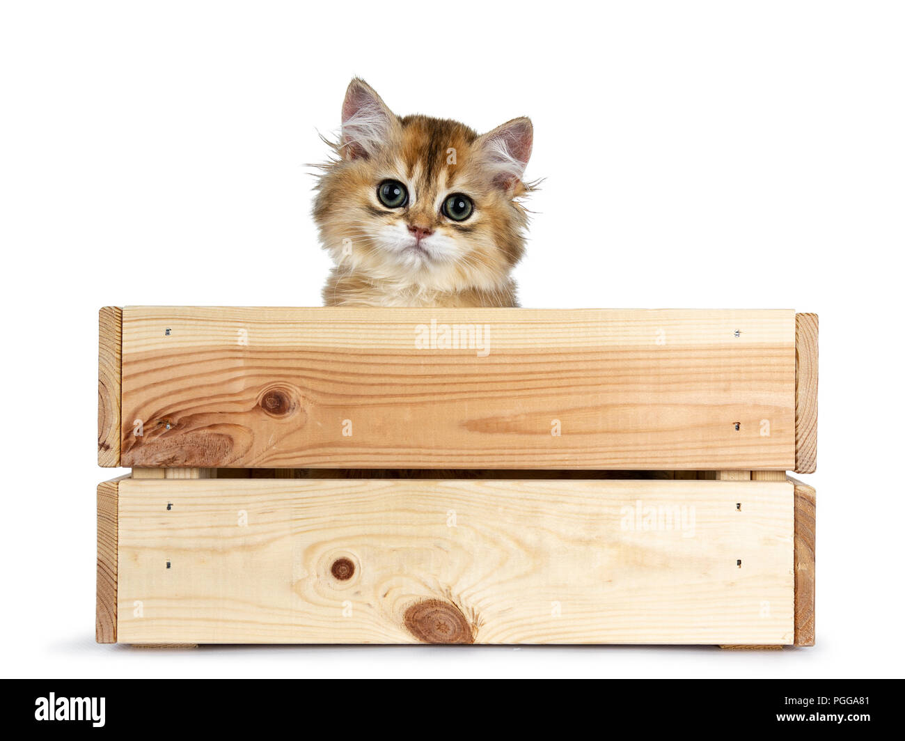 Super sweet golden British Longhair cat kitten with big green eyes, sitting in a wooden crate / box peeping out adorable over the edge straight Stock Photo