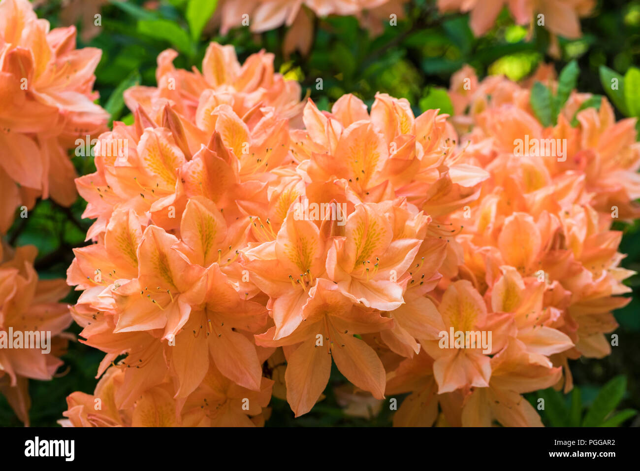 Close up of an Orange Rhododendron flowering in an English garden - Stock Image