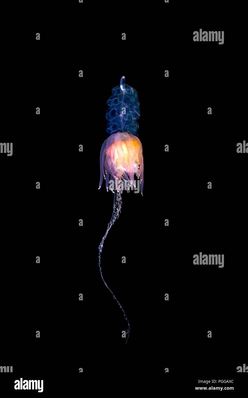 Pelagic siphonophore - Hula Skirt Siphonophore (Physophora hydrostatica) - Stock Image
