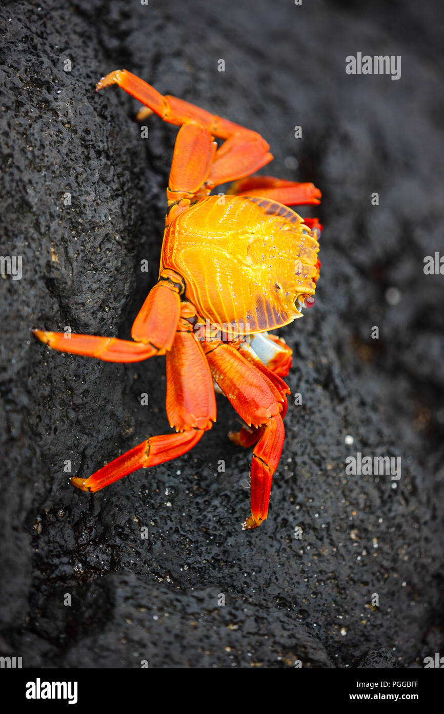 Sally lightfoot crab on a black lava rock - Stock Image