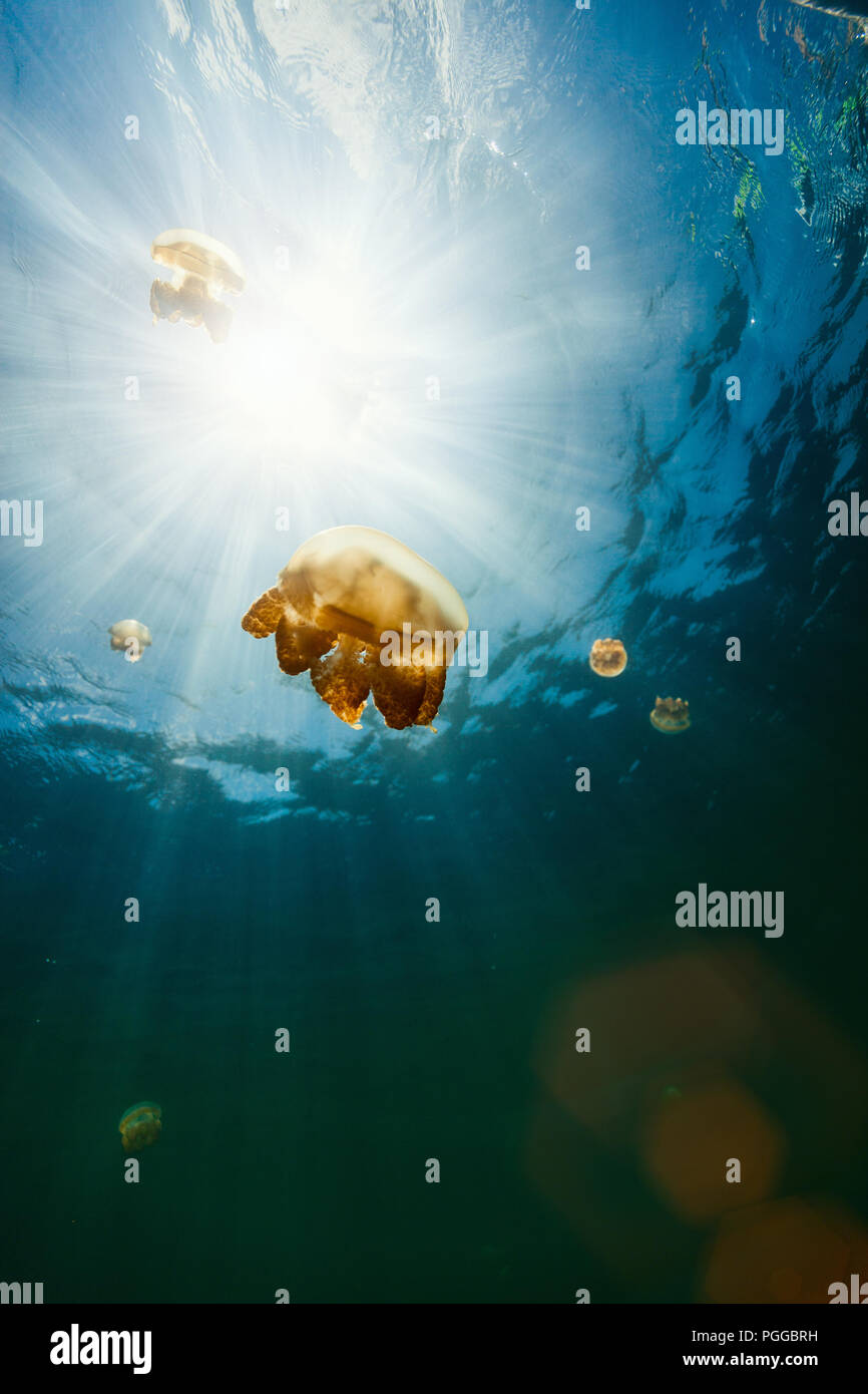 Underwater photo of endemic golden jellyfish in lake at Palau. - Stock Image