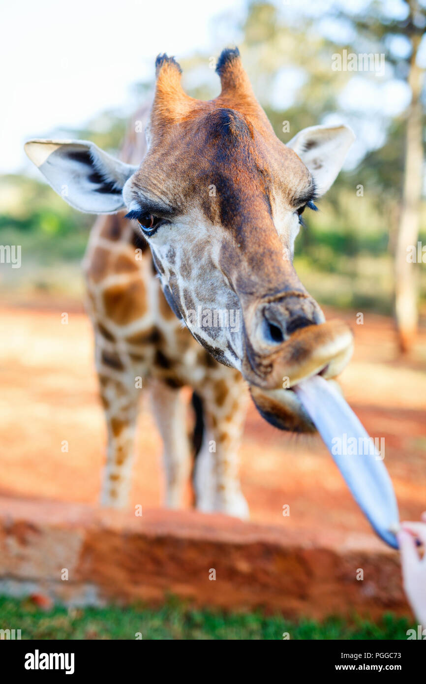 Feeding a young endangered Rothschild Giraffe in Africa - Stock Image
