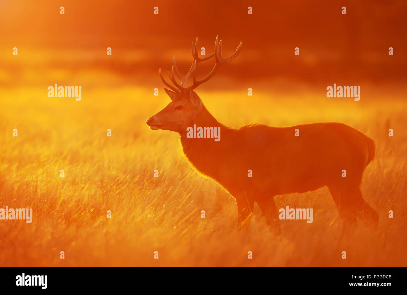Red deer standing in grass at dawn in autumn, UK. - Stock Image