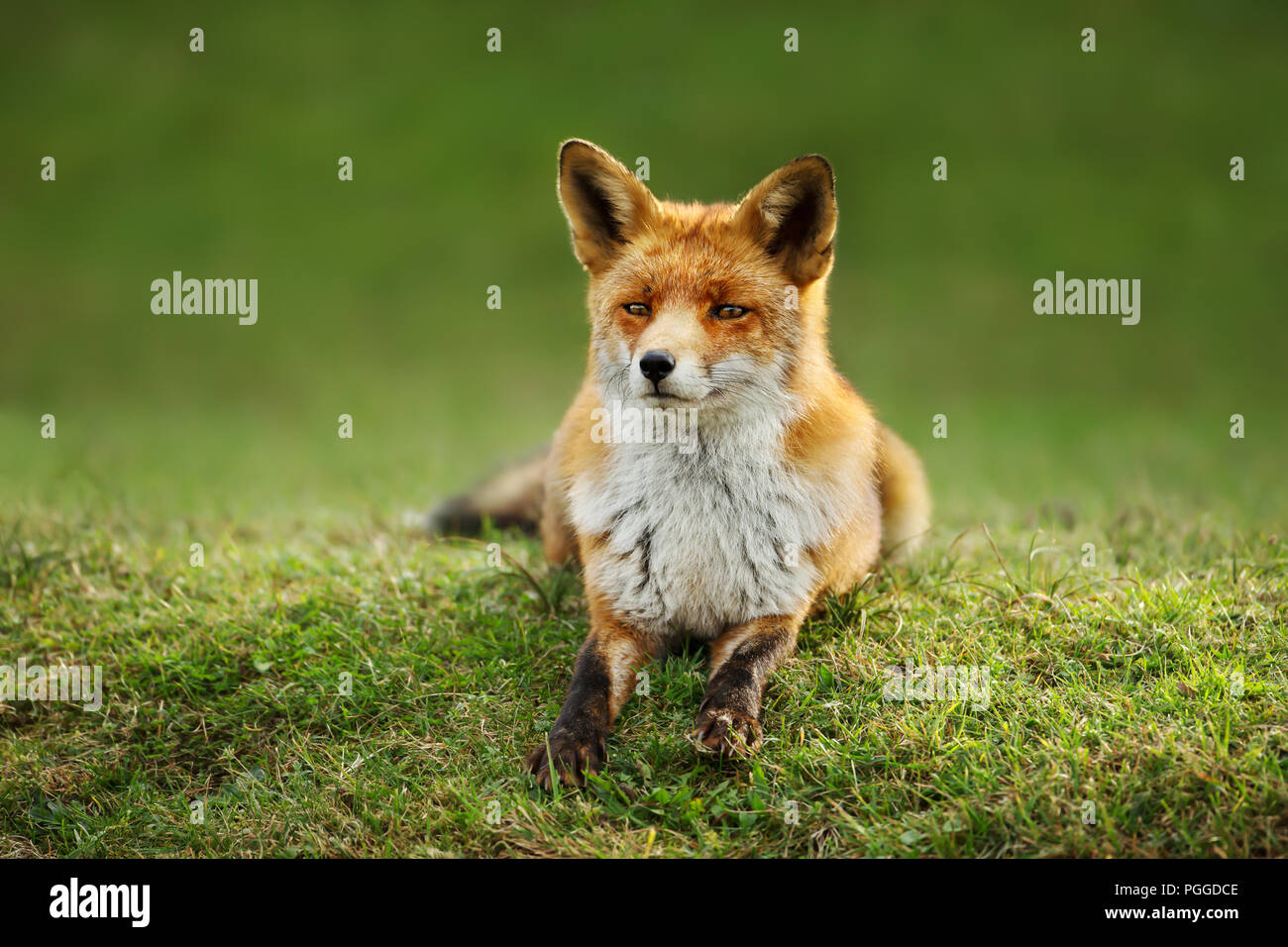 Close up of a red fox lying on the grass in summer. - Stock Image