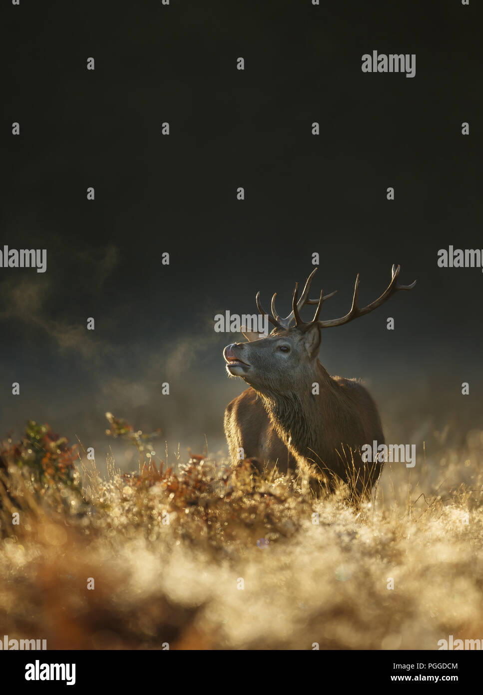 Red deer at dawn on a foggy autumn morning during a rutting season, UK. - Stock Image