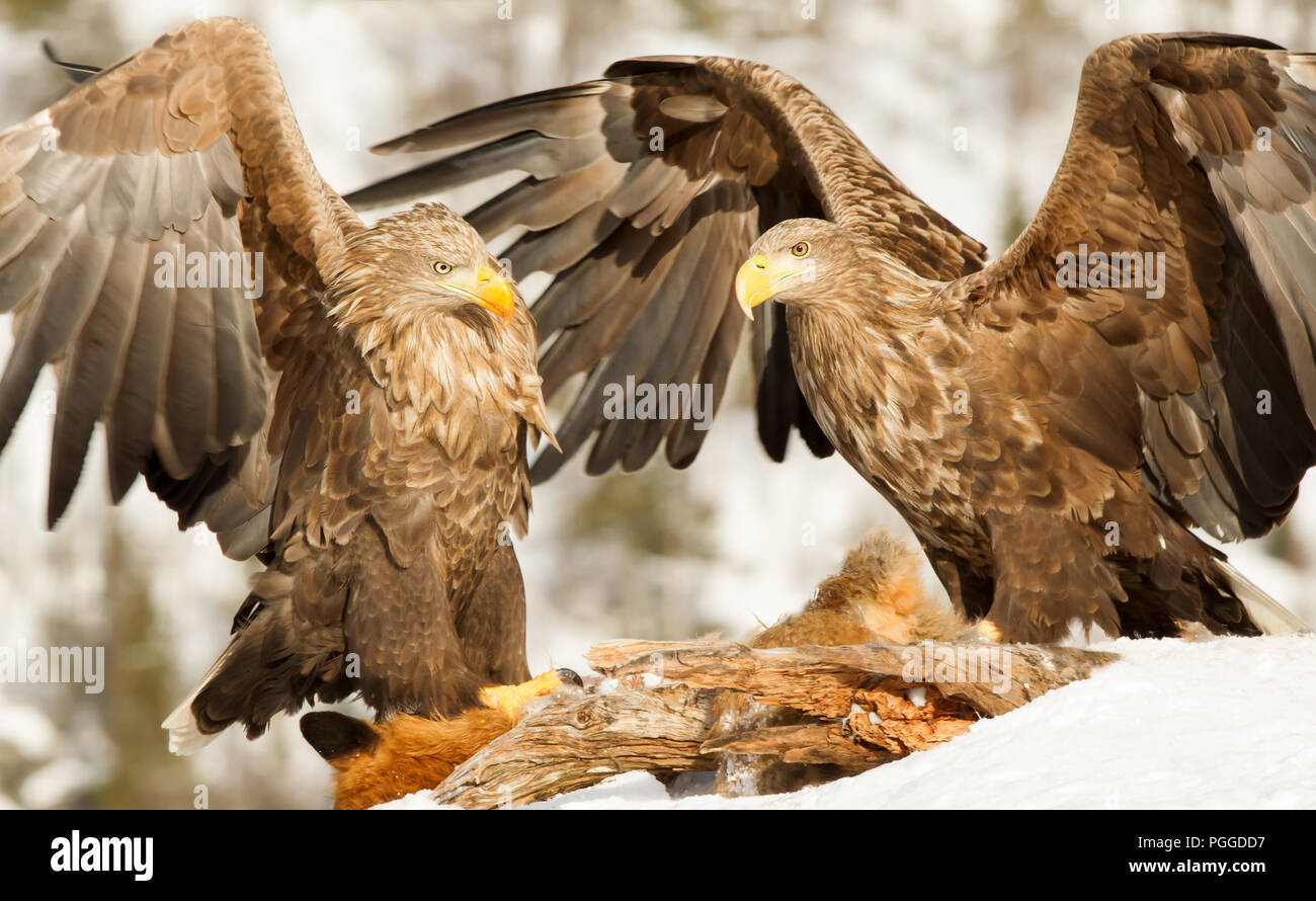 Two White-tailed eagles (Haliaeetus albicilla) fighting while feeding on a dead red fox high in winter, Norway. - Stock Image