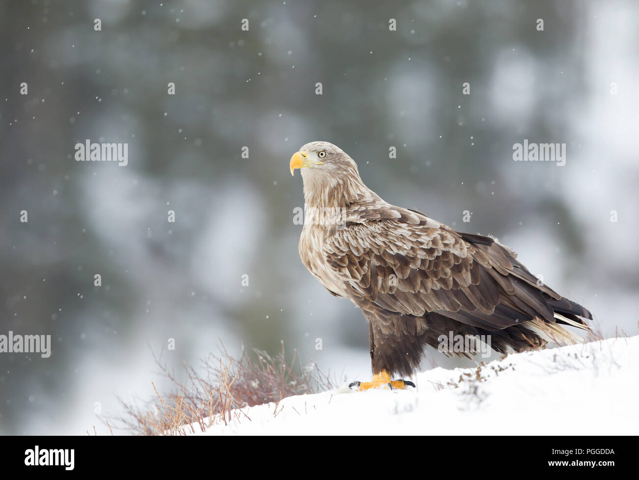 Close-up of a white-tailed eagle (Haliaeetus albicilla) standing on snow in winter while snowing, Norway. - Stock Image