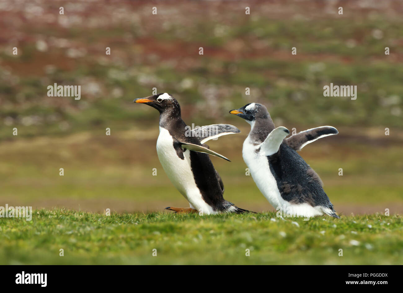 Gentoo penguin chick chasing its parent to be fed, Falkland islands. Interesting animal / bird behaviour in the wild. - Stock Image