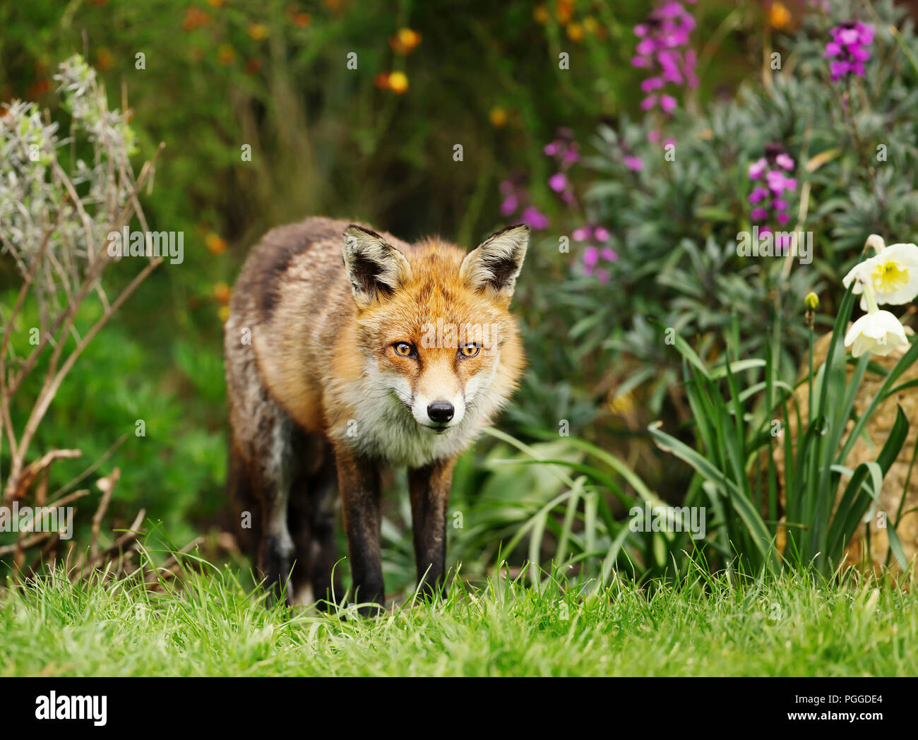Red fox standing in the garden with flowers, spring in UK. Stock Photo
