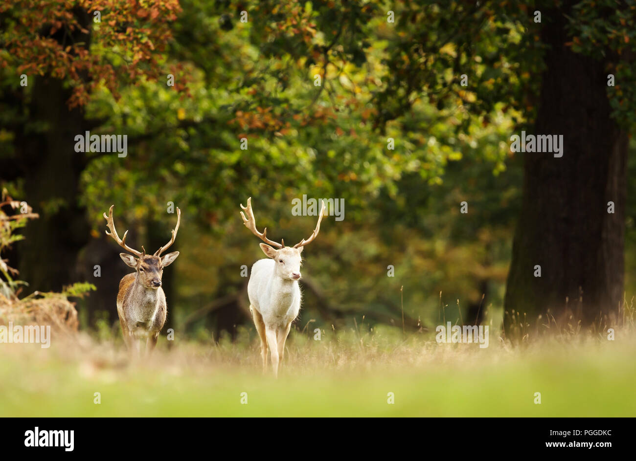 Two Fallow deer (Dama dama) walking in the forest in autumn, UK. - Stock Image