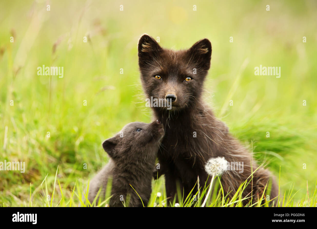 Close-up of Female Arctic fox with a cute little cub in the meadow, summer in Iceland. - Stock Image
