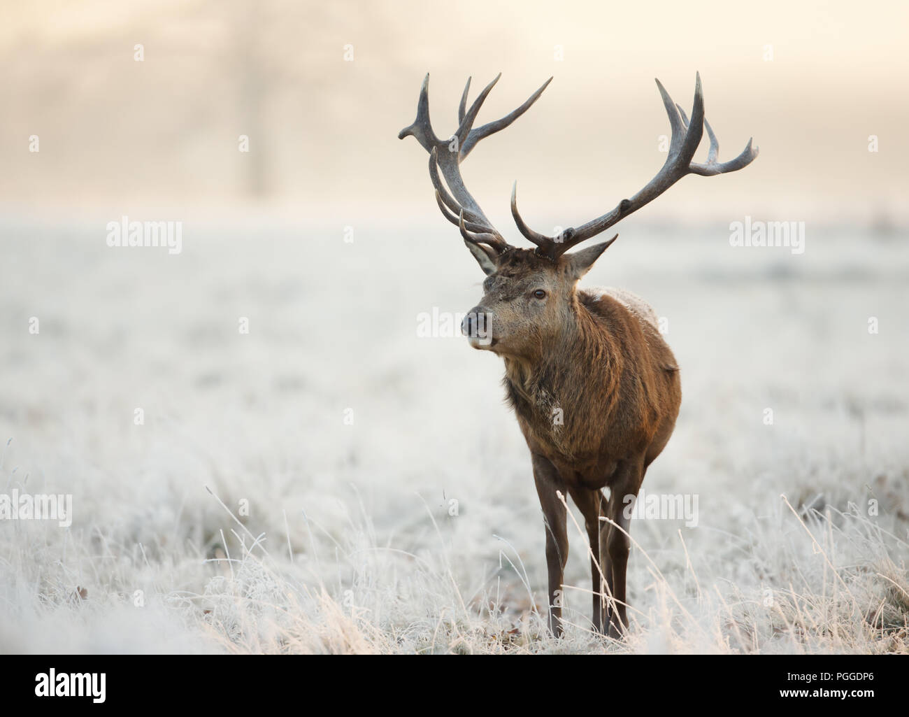 Close-up of a red deer stag standing on a frosted grass in winter, UK. - Stock Image