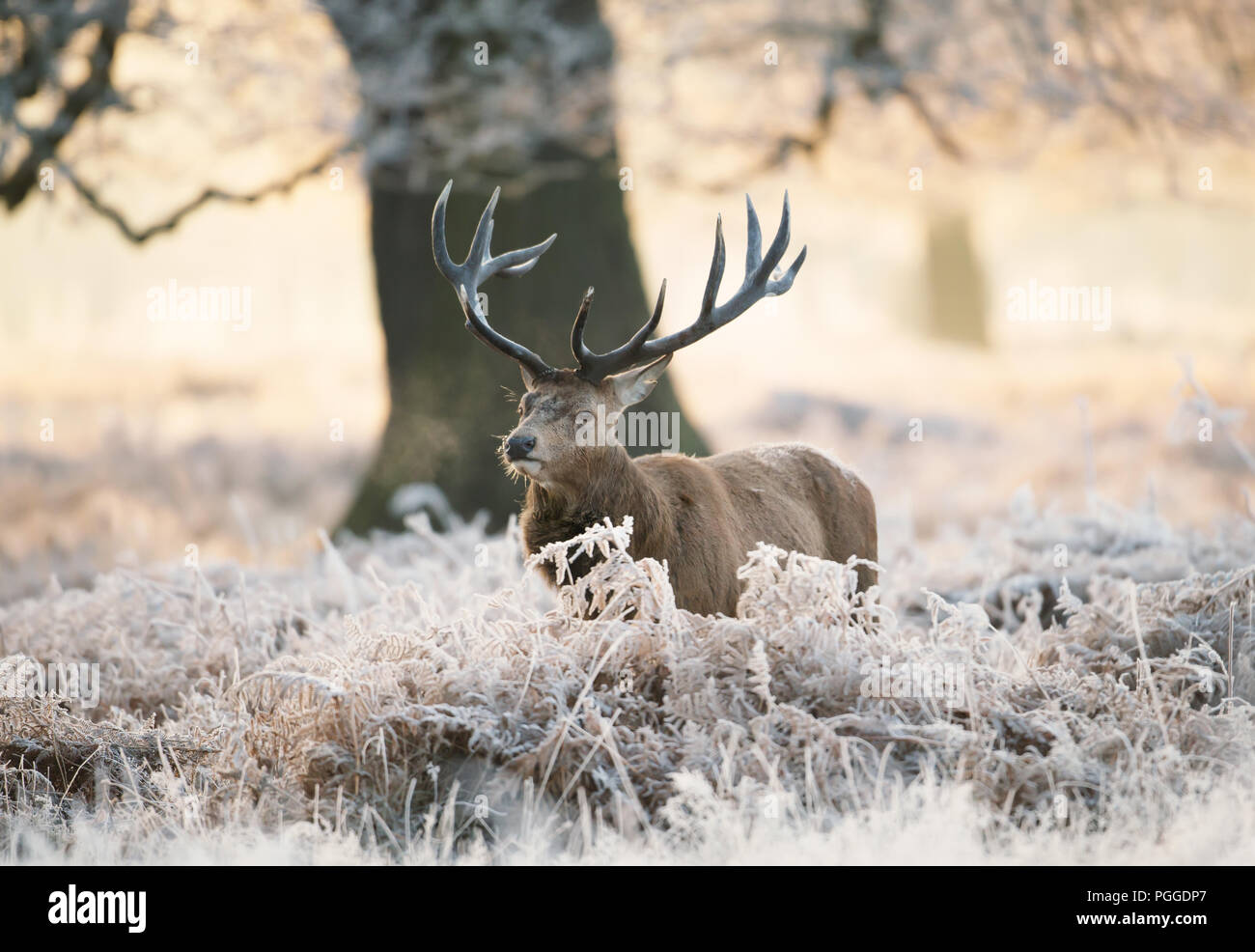 Red deer stag standing in fern on a frosty winter morning, UK. - Stock Image