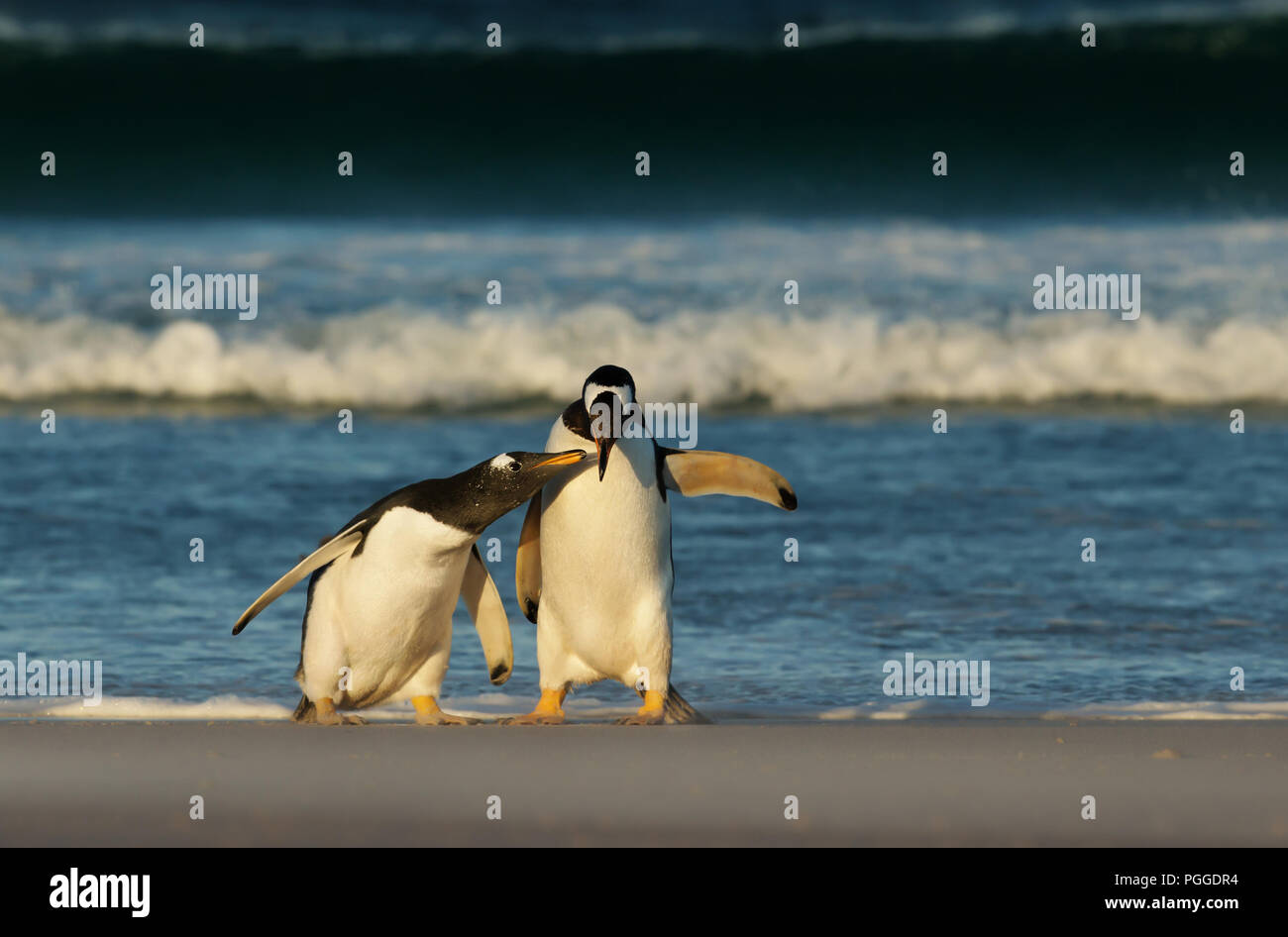 A penguin chick chasing its parent and asking for food, Falkland islands. - Stock Image