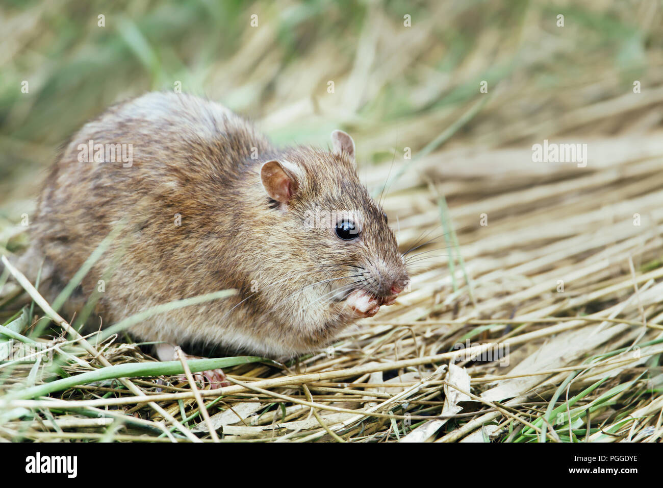 Close-up of a rat feeding in the field, UK. - Stock Image