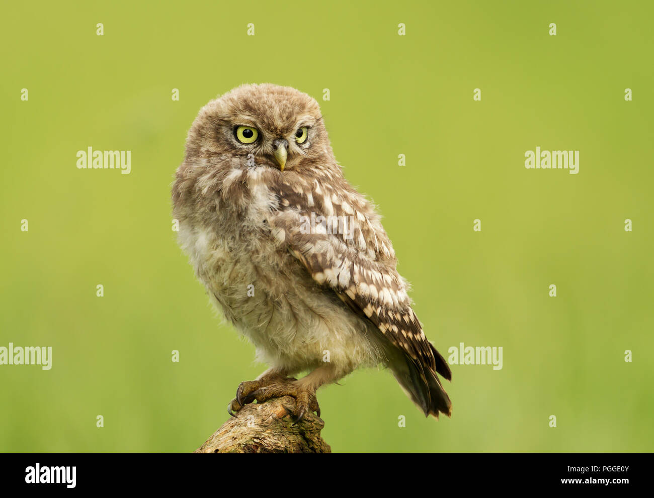 Close-up of a Juvenile Little owl perching on a post against green background, UK. - Stock Image