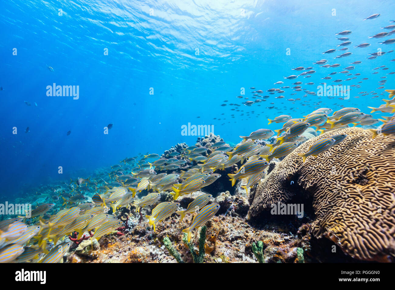 Beautiful colorful coral reef and tropical fish underwater in St Lucia Caribbean - Stock Image
