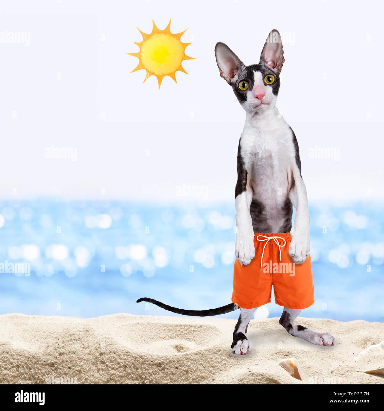 Black with white cornish rex cat standing up wearing swim shorts on beach - Stock Image