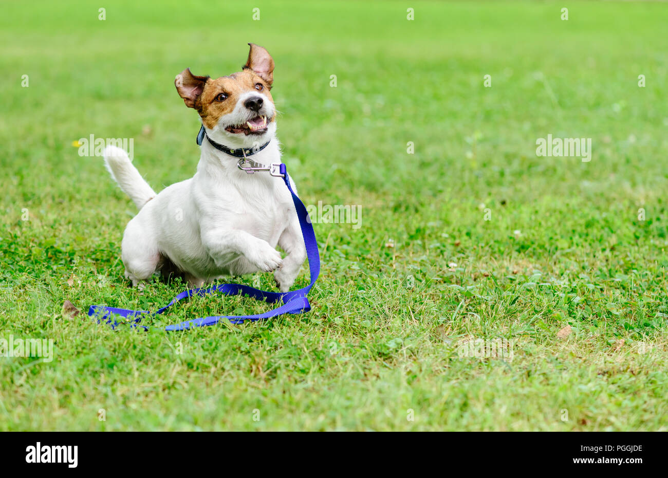 Adopt a pet concept with happy and excited dog running with leash on ground - Stock Image