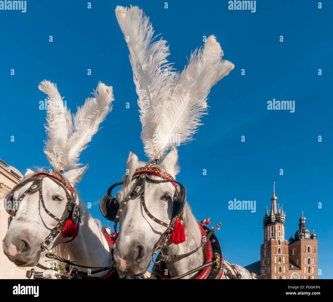 Pair of white horses with the Saint Mary's Basilica in the background in the historic center of Krakow, Poland on a beautiful sunny day - Stock Image
