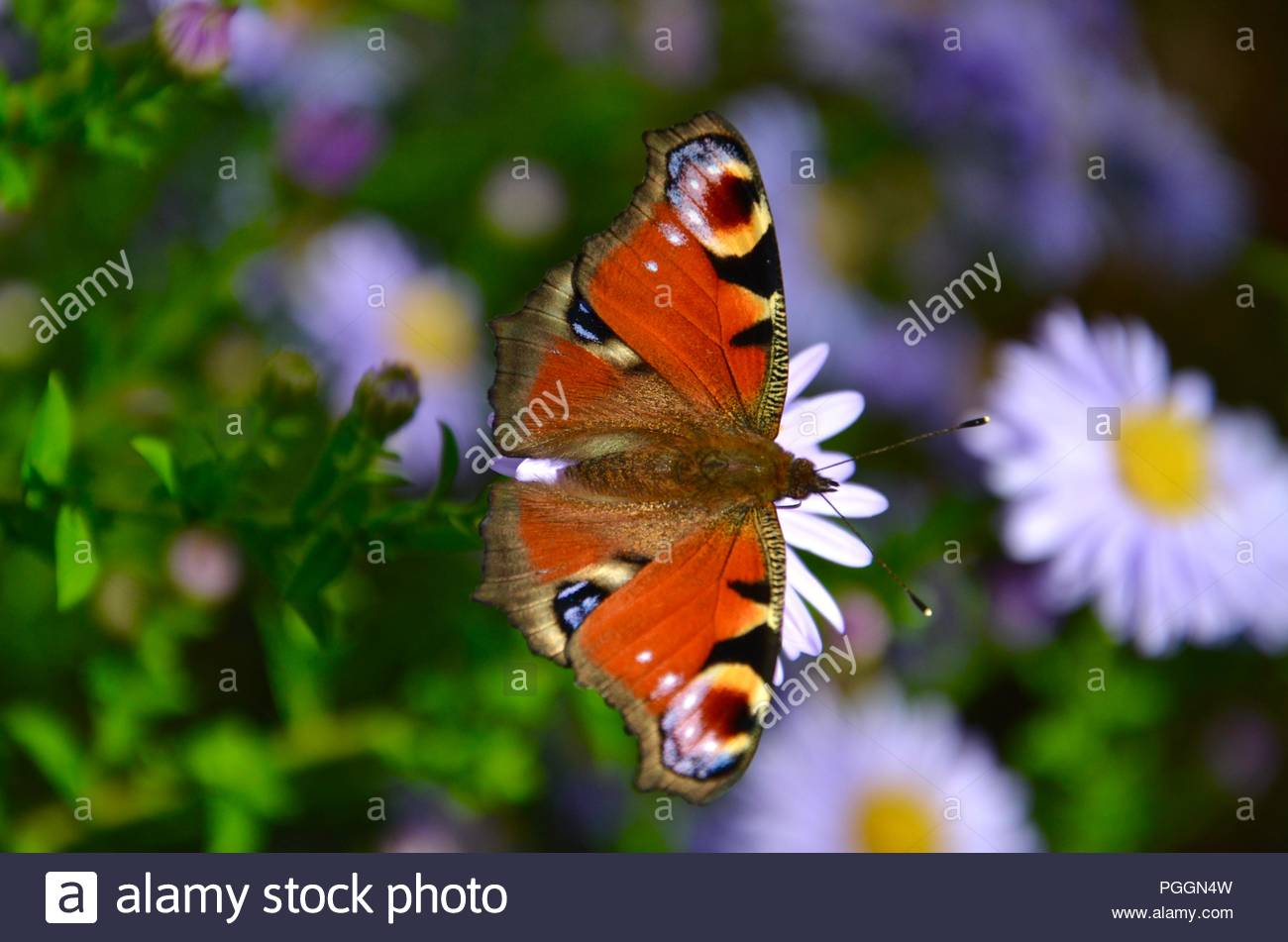 A peacock butterfly on a violet aster in fall with blurred background - Stock Image