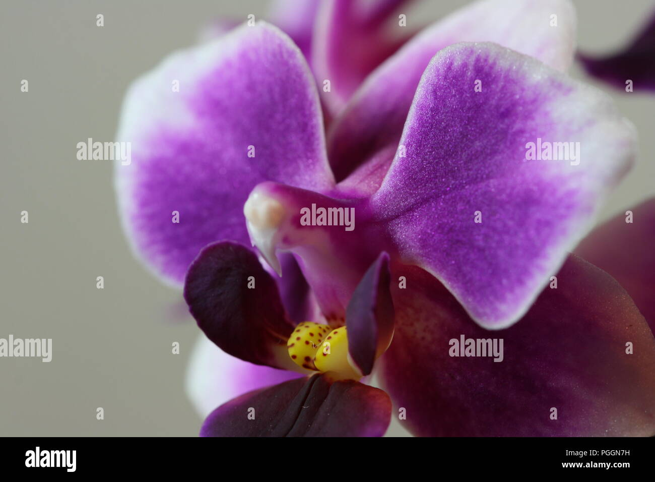 Orchid Flower Macro (Close up) - Stock Image