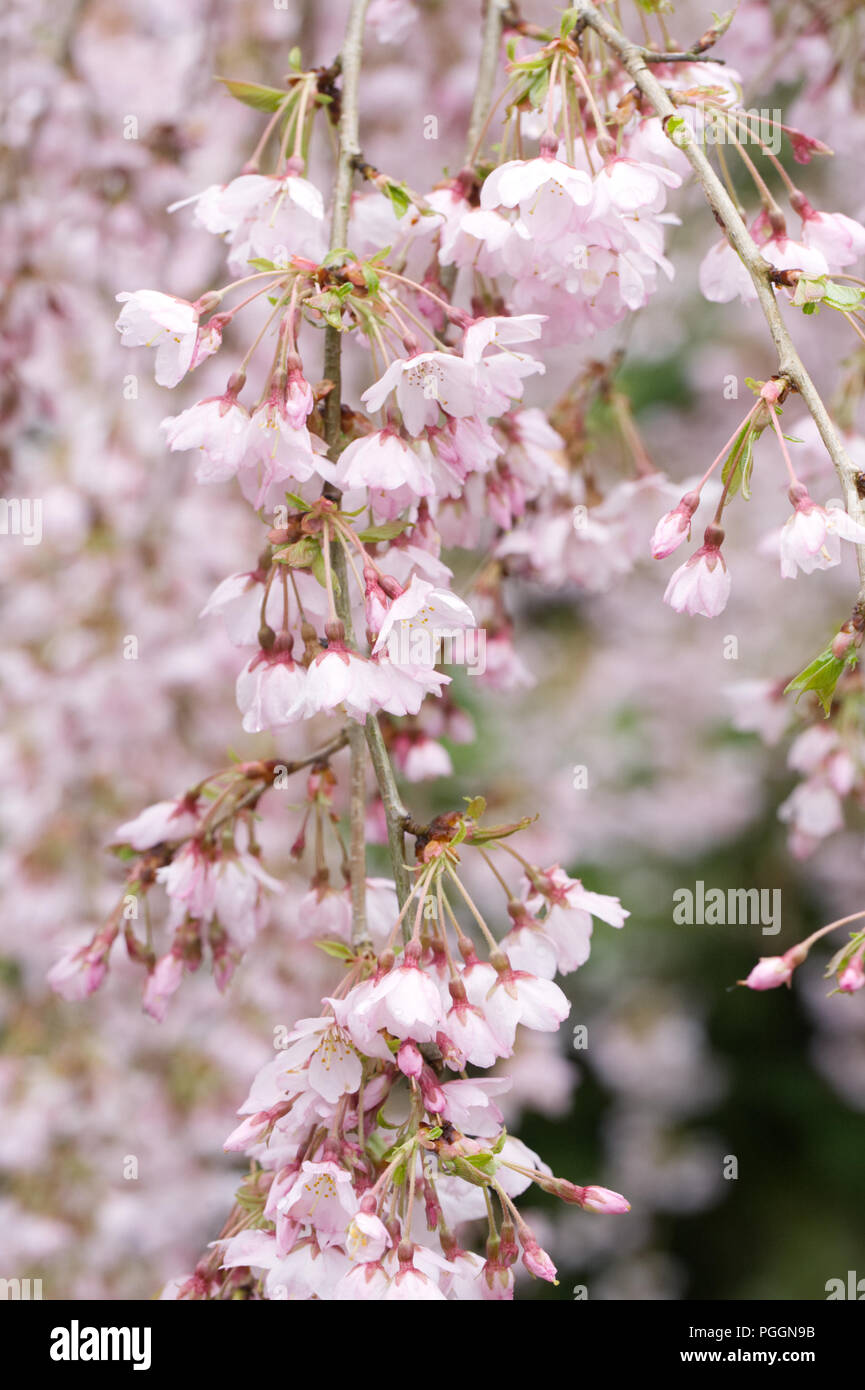 Prunus pendula 'Pendula Rosea' blossom. Drooping Rosebud Cherry. - Stock Image