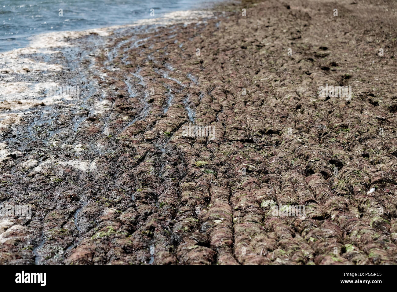 Calshot beach in Southampton UK is covered in a blanket of seaweed after the warm weather spell washes piles of it on the beach in this anomaly. - Stock Image
