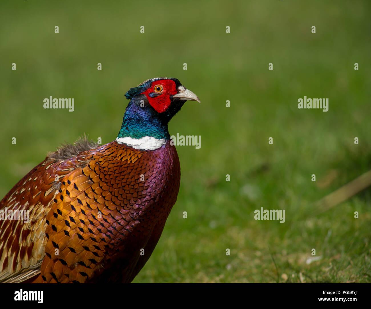 Right facing portrait of male common pheasant, Phasianus colchicus. - Stock Image