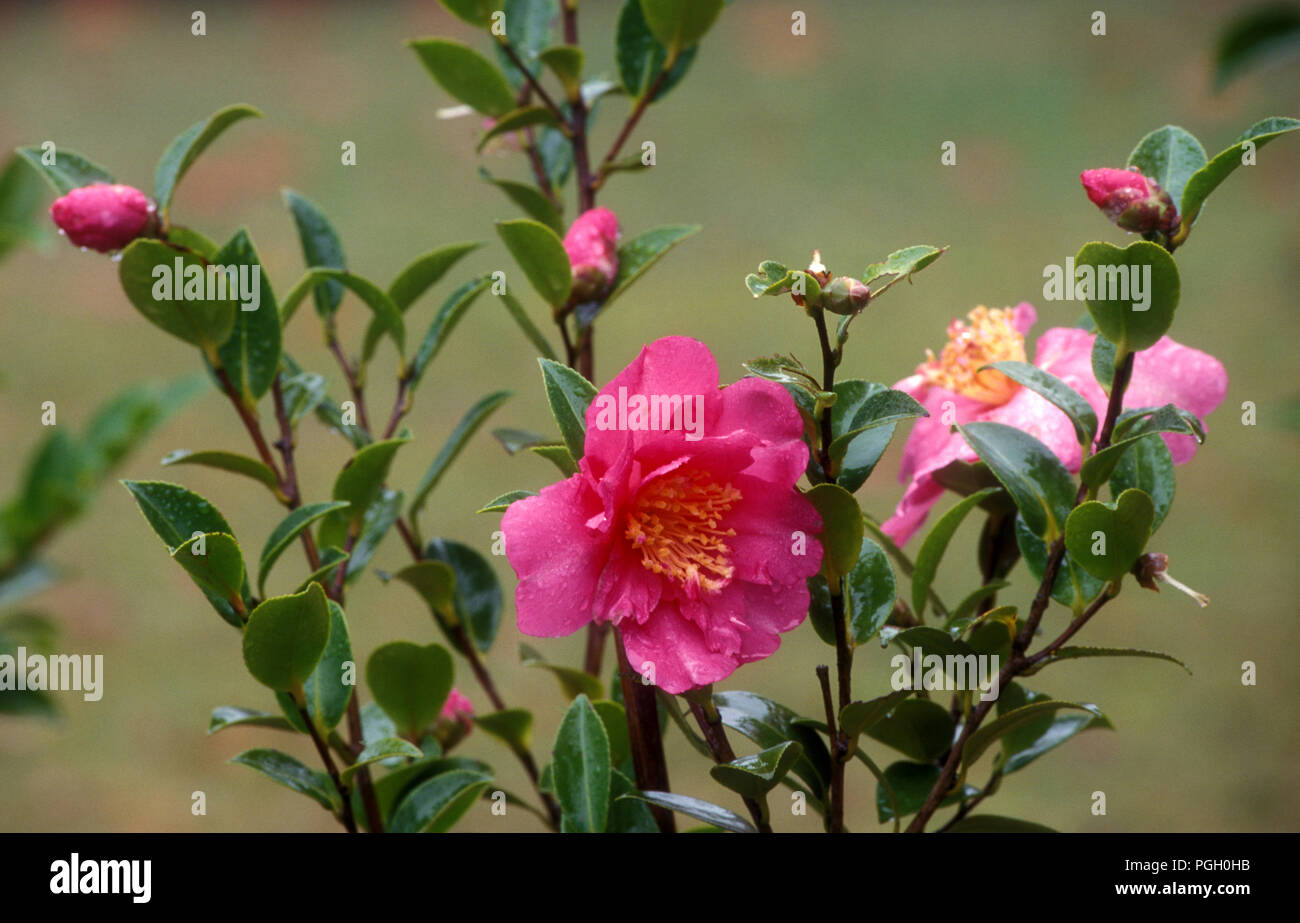 Pink Camellia bush in flower, New South Wales, Australia Stock ...
