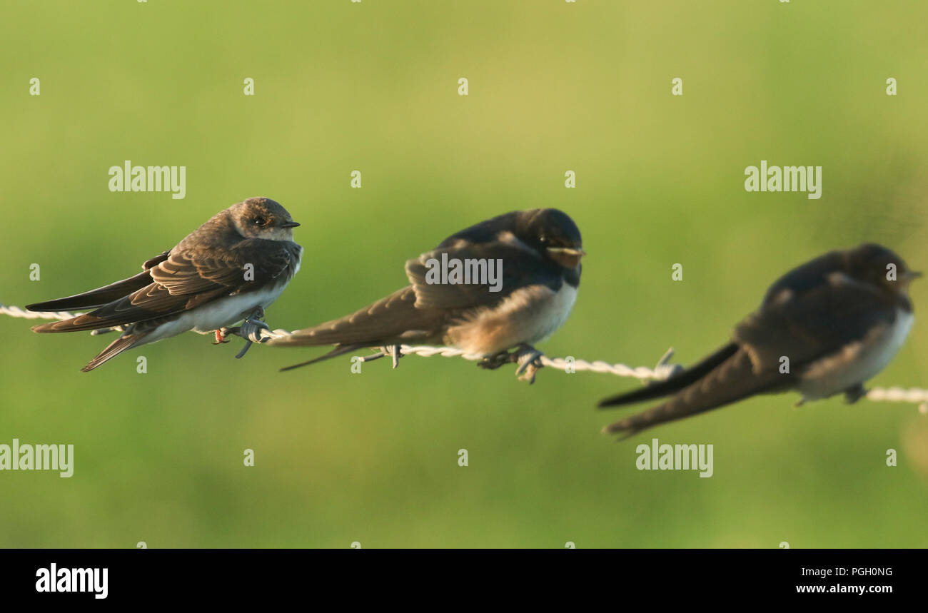 A pretty Sand Martin (Riparia riparia)  perching with Swallows on a barbed wire fence. - Stock Image