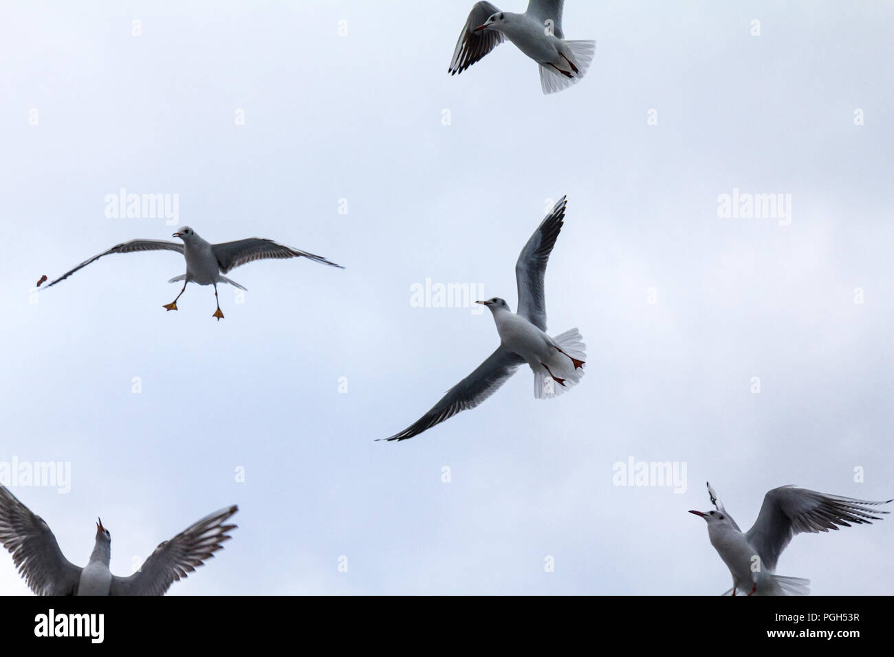 Flock of European seagulls flying with a grey sky in background. These specy of gulls, Laridae family, is extremely common among the birds on the seas - Stock Image