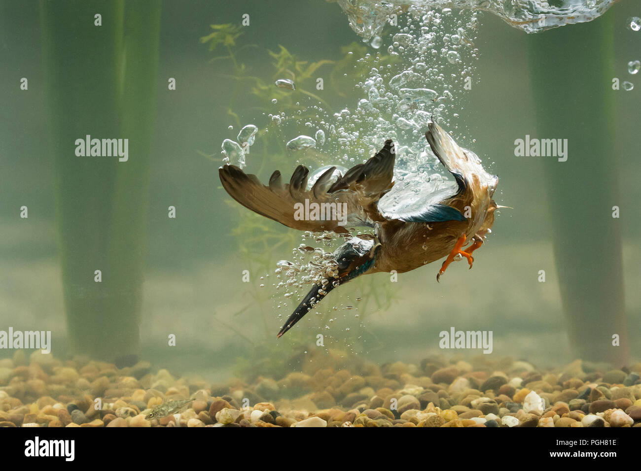 Kingfisher (Alcedo atthis) diving underwater - Stock Image