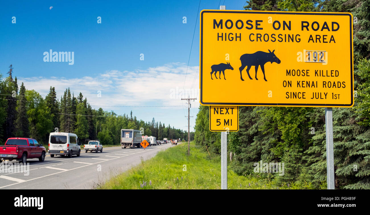 This last year a total of 192 Moose was killed on the roads on the Kenai Penninsula in Alaska USA. This is a very high number of Moose and car colliss - Stock Image