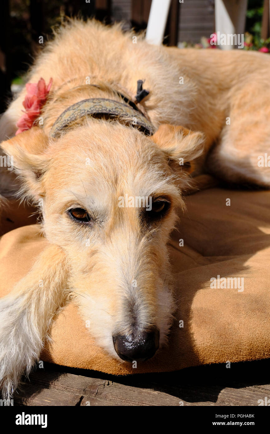 Rough coated female Lurcher relaxing on her dog bed - Stock Image