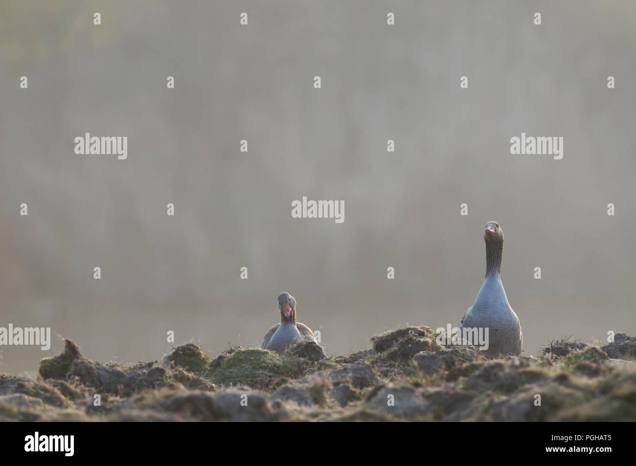 Greylag Goose (Anser anser) - Couple Oie cendrée Stock Photo