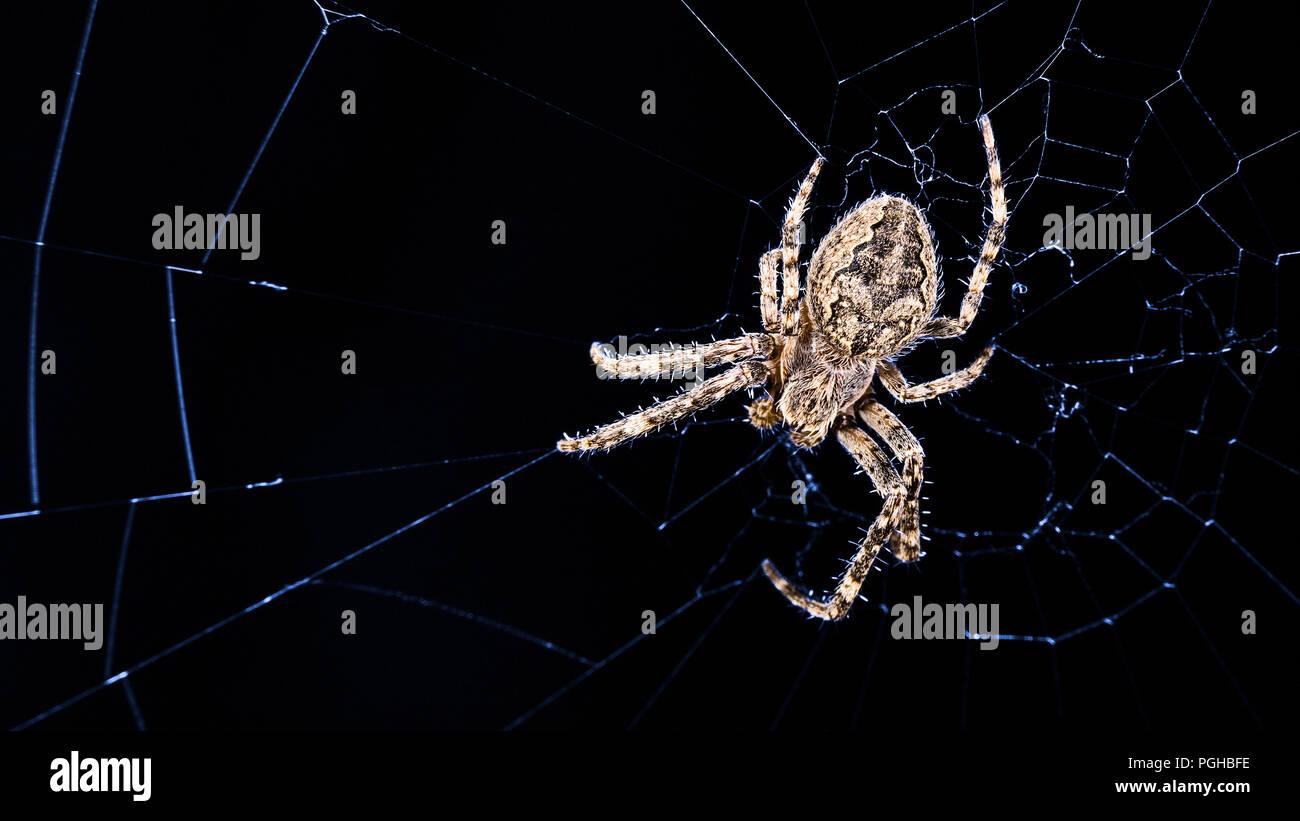 Big bridge spider. Larinioides sclopetarius, Cobweb in night moonlight. Araneidae. Beautiful insect predator on blue lit web. Spooky black background. - Stock Image